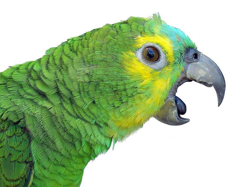 Почему попугай без звука открывает рот