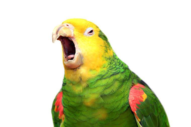 Почему попугай без звука открывает рот - заболевание