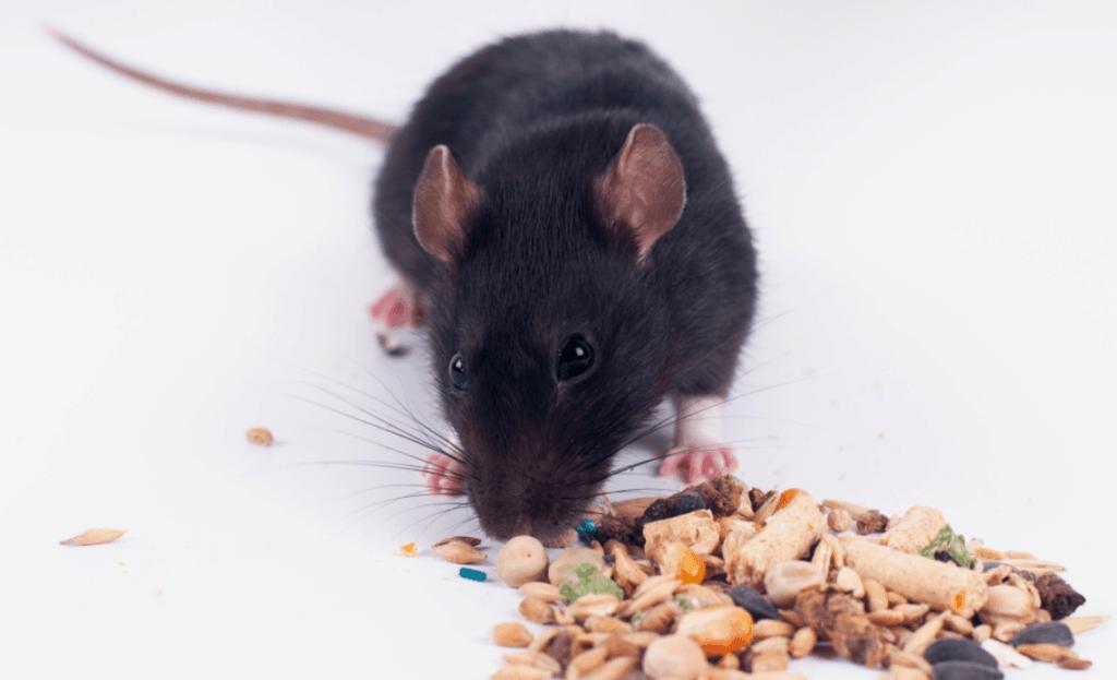 Популярные корма для крыс - главное фото