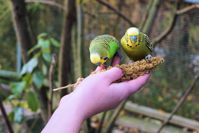 Правила выбора клички для волнистого попугая