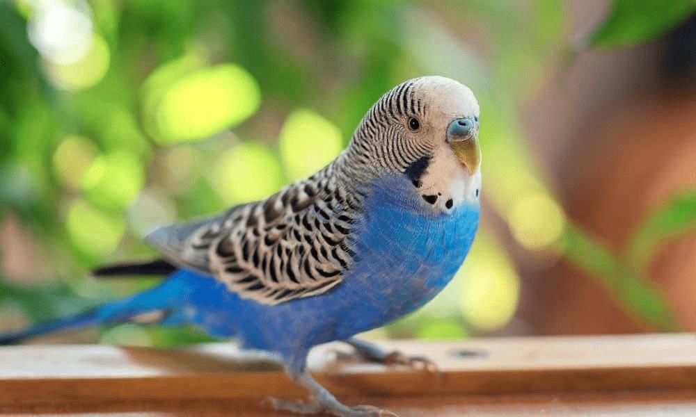 Правила выбора имени для волнистого попугая