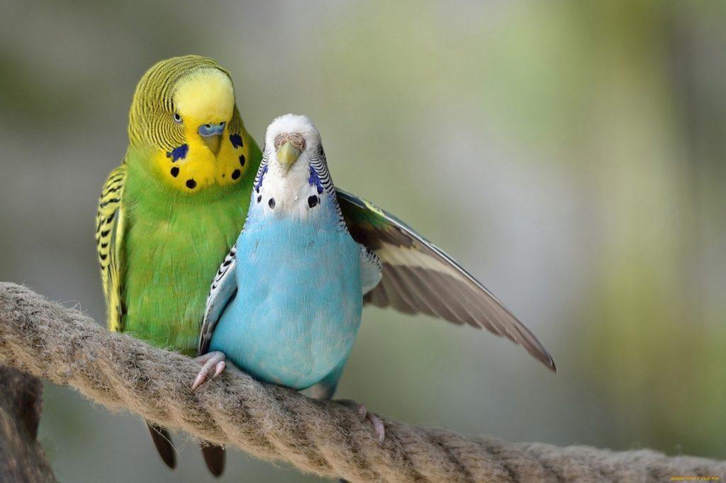 Размножение волнистых попугаев