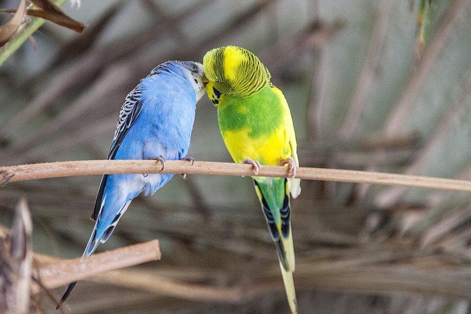 Размножение волнистых попугаев - пара