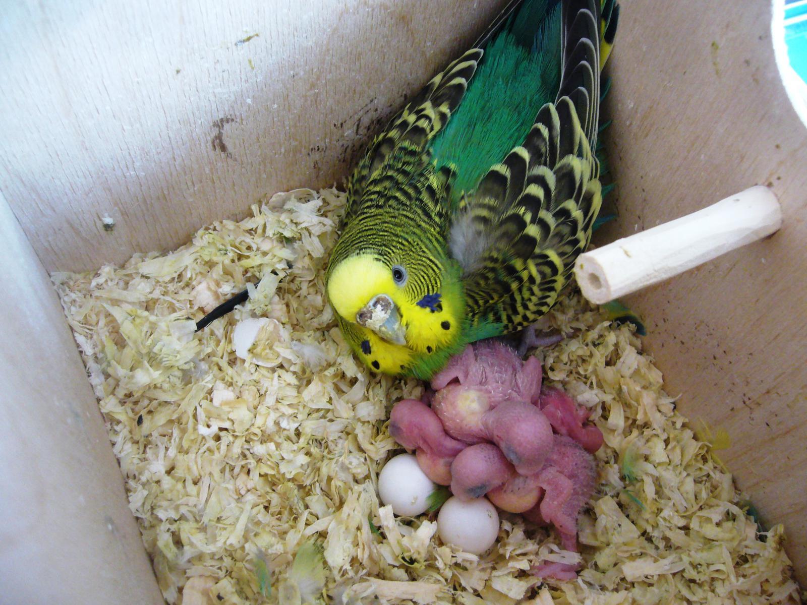 Размножение волнистых попугаев - насиживание яиц