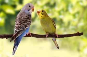 Рекомендации по выбору волнистого попугая