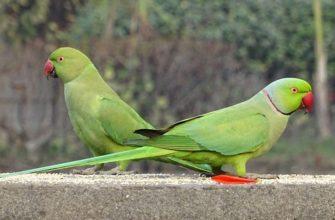 Сколько живут ожереловые попугаи