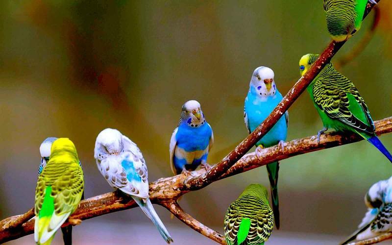 Язык тела волнистых попугаев