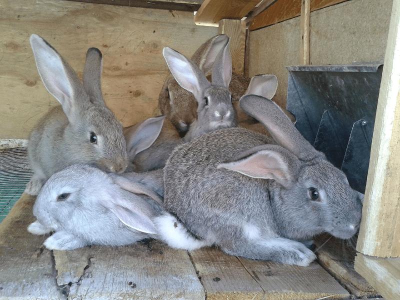 Минералы в рационе кроликов