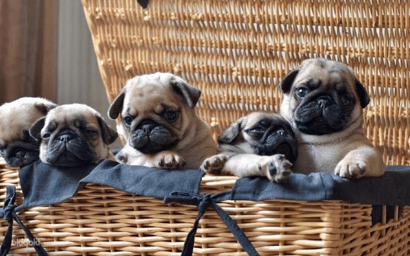 Уход за щенками мопса