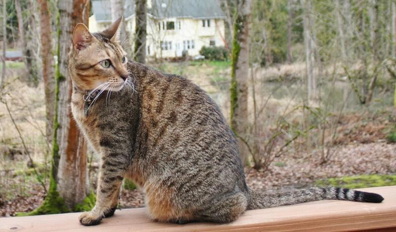 Кошка Аравийский мау