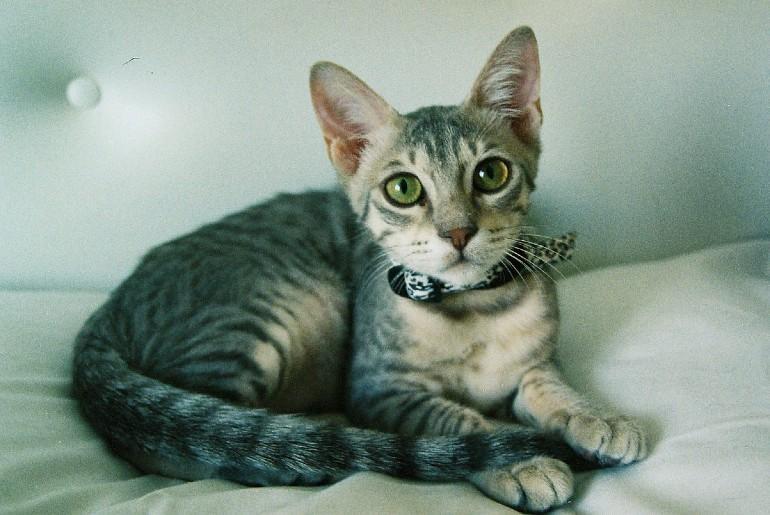 Аравийский мау - выбор котенка