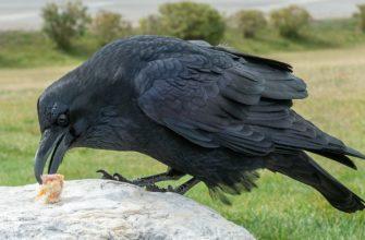 Чем кормить ворону - главное фото
