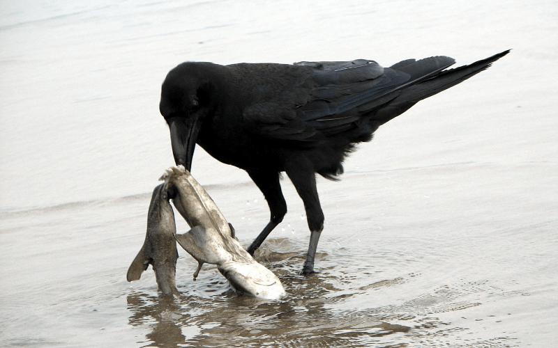 Чем питается ворона в природе