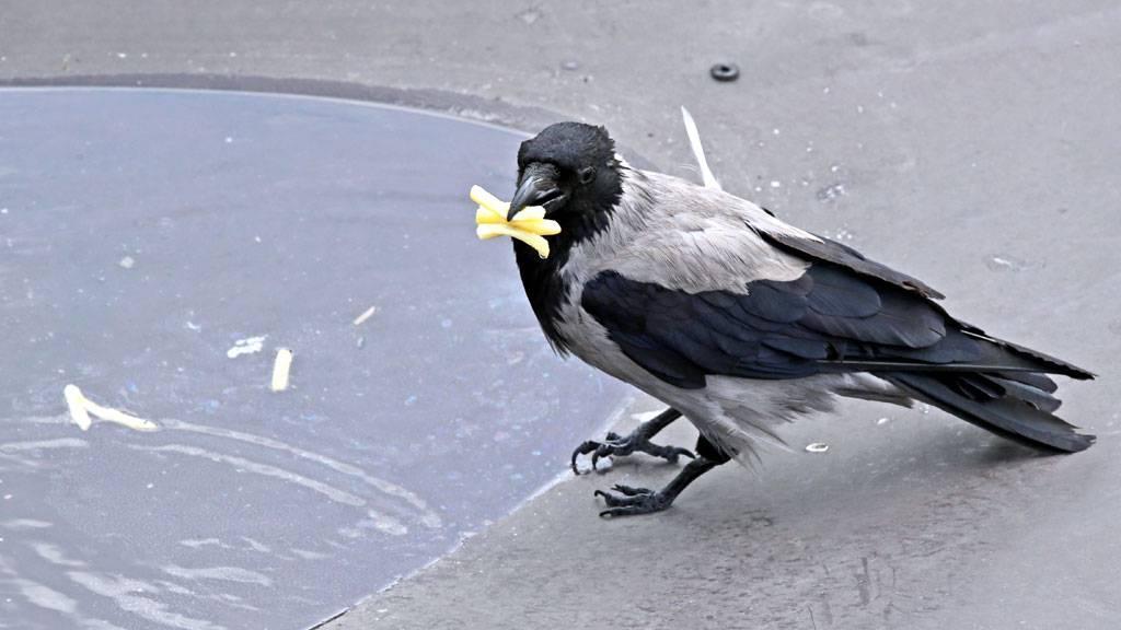Кормение вороны - добавки к рациону