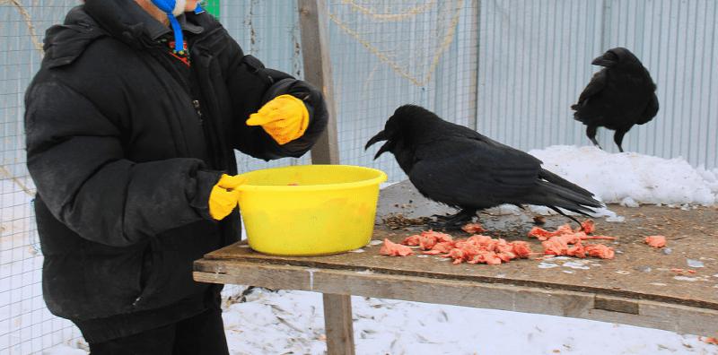 Кормление взрослых ворон