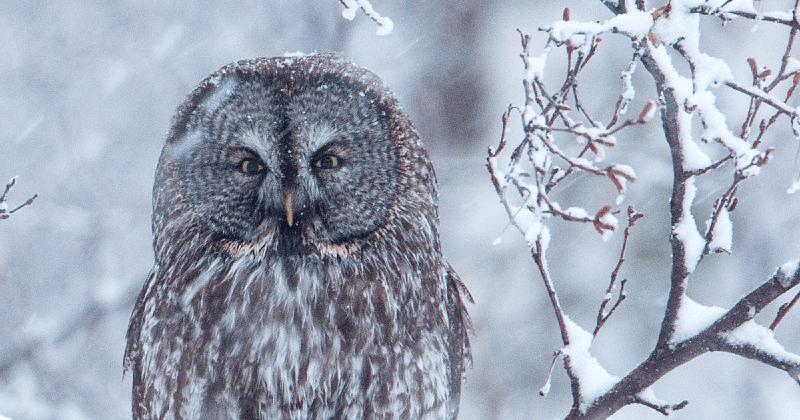 Где зимуют совы - главное фото