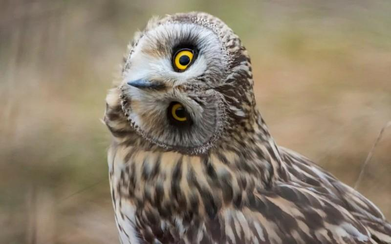 Как сова поворачивает голову