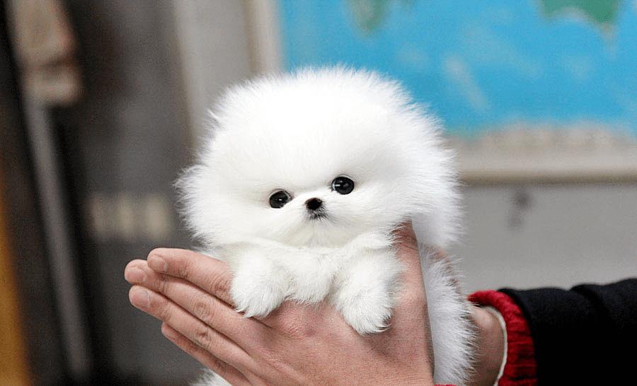 Как правильно выбрать щенка шпица