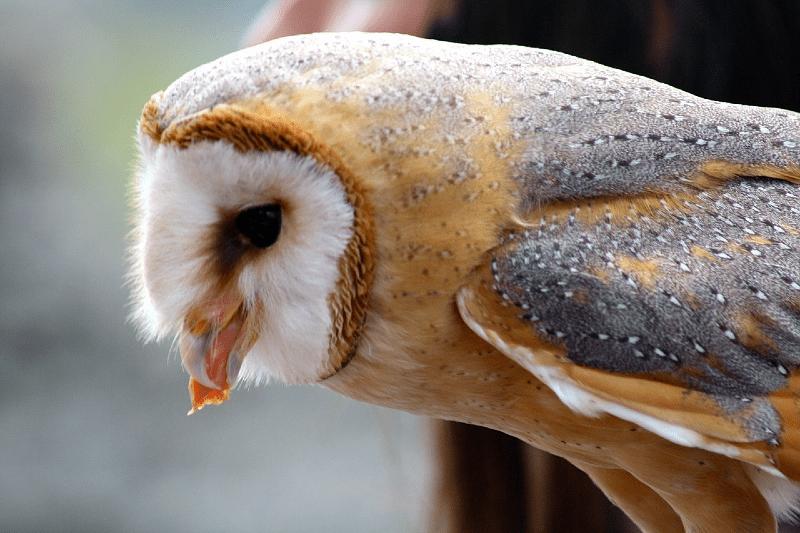 Кормление совы
