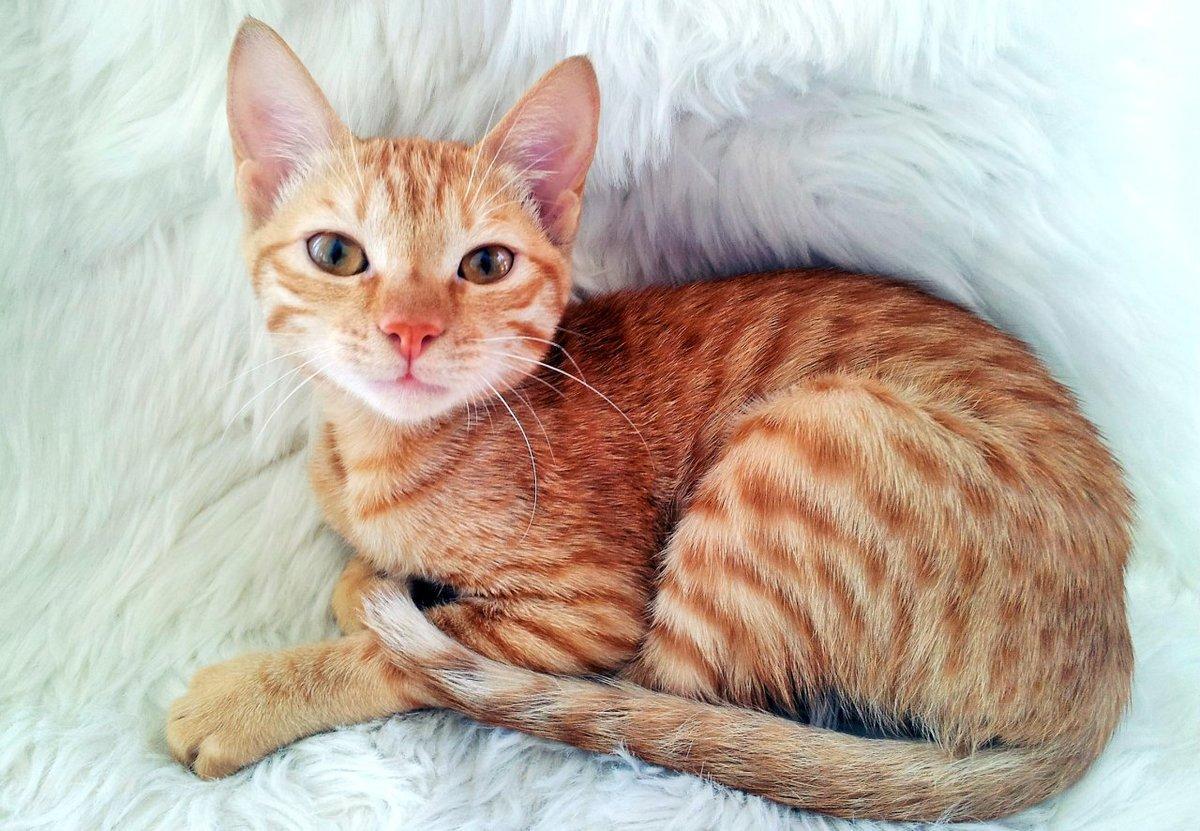 Котенок аравийский мау