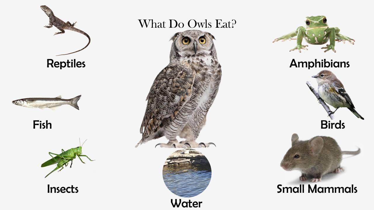Чем питаются совы в природе