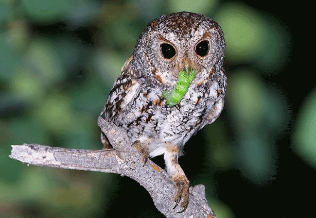 Питание совы в природе