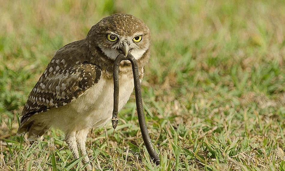Описание совы – разновидности, как выглядит и чем питается крылатый хищник