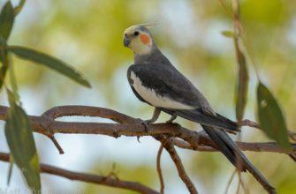 Попугай корелла - главное фото