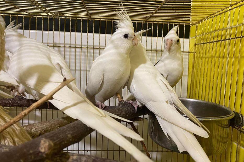 Попугай корелла - содержание