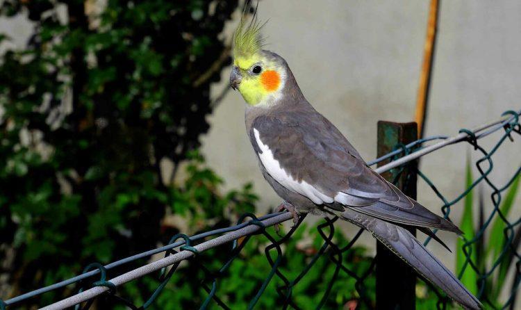 Попугай корелла - образ жизни