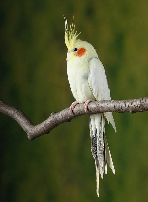 Попугай корелла - внешний вид