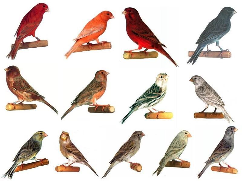 Разновидности канареек