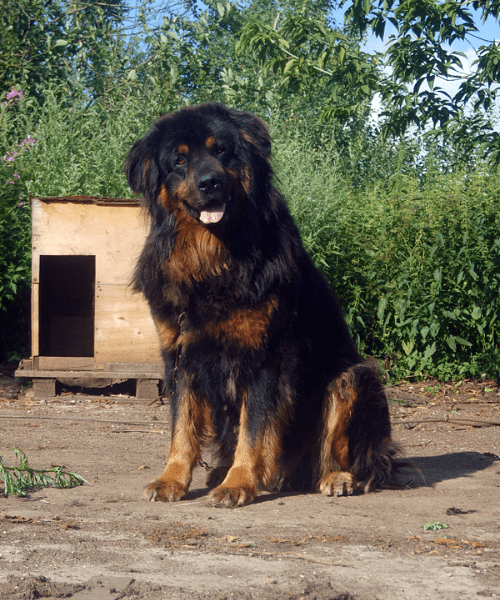 Монгольский банхар - собака
