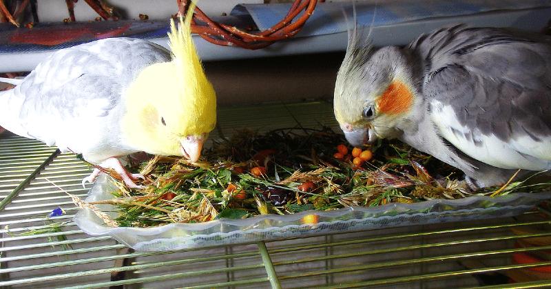 Чем кормить попугая кореллу в домашних условиях