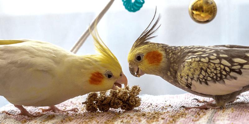 Кореллы едят чумизу