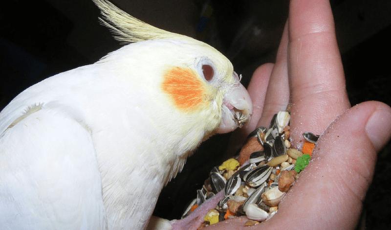 Суточная норма корма для кореллы