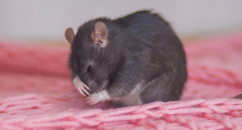 Домашняя крыса часто чихает