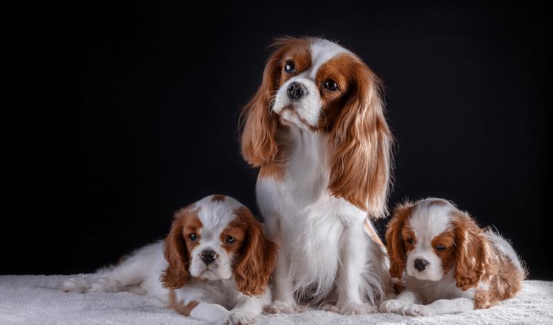 Кавалер-кинг-чарльз-спаниель - выбор щенка