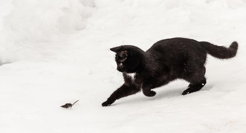 Можно ли научить кошку ловить мышей