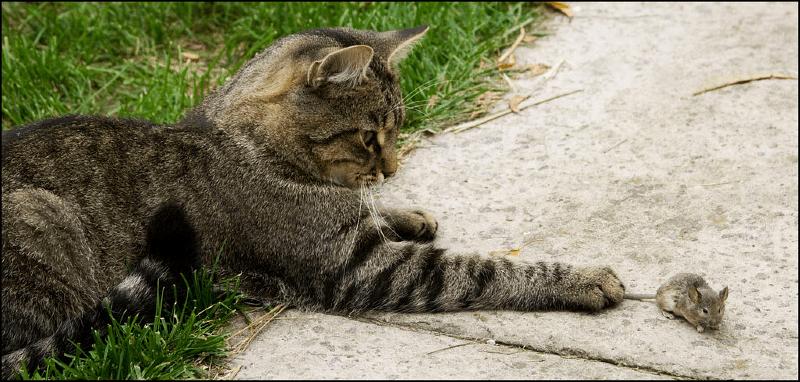 Кто лучше ловит мышей - кот или кошка