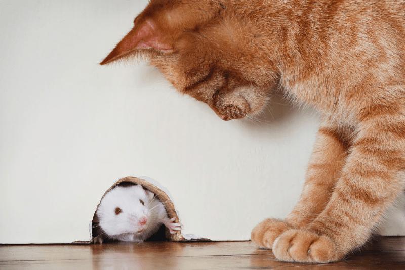 Кто лучше ловит мышей, кот или кошка