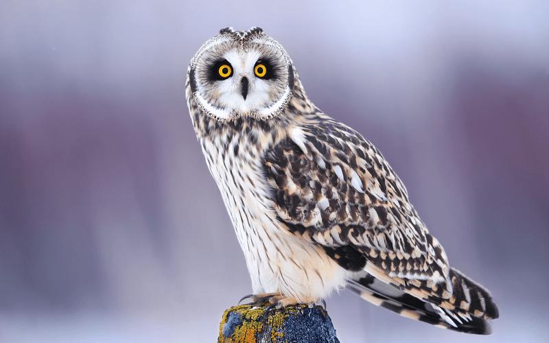 Описание совы - главное фото