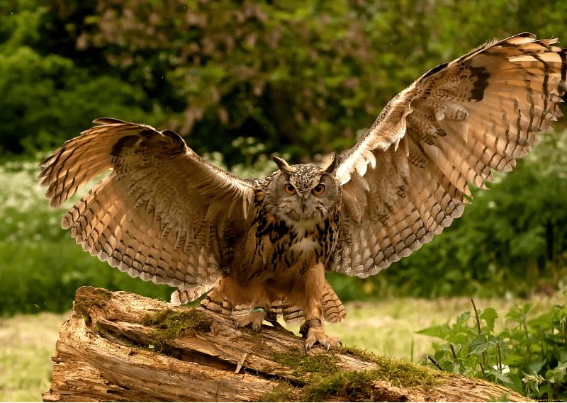 Описание совы - среда обитания