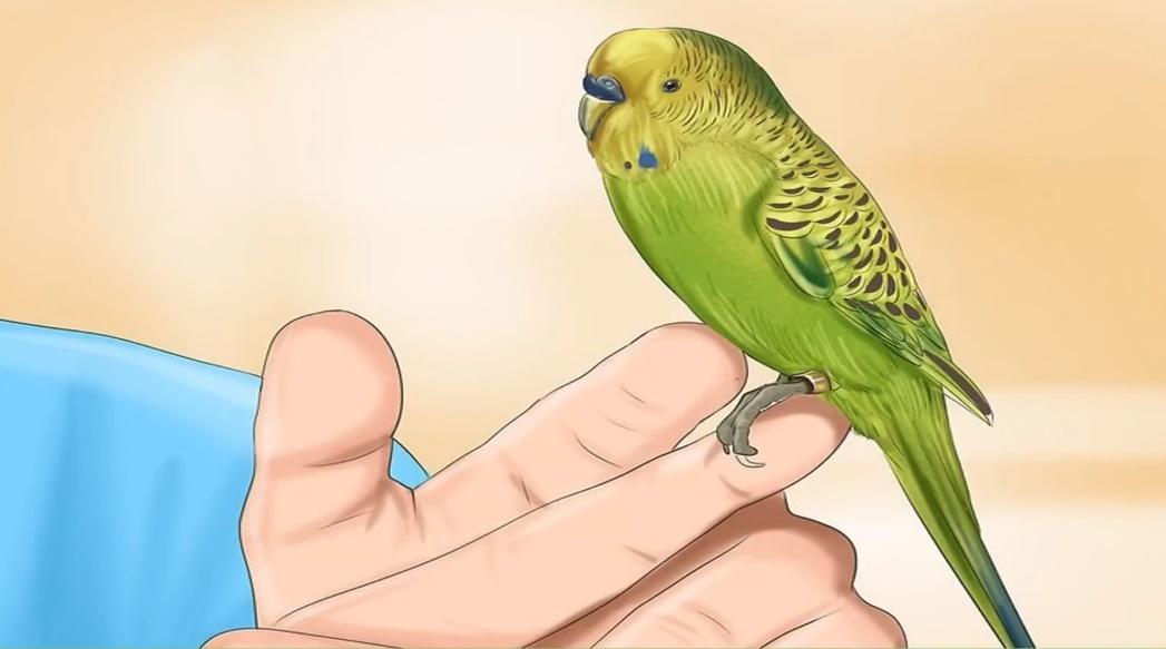 Пухопероеды у волнистого попугая