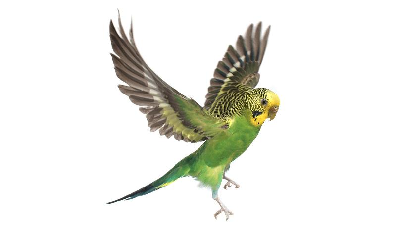 Пухопероеды у попугая - главное фото