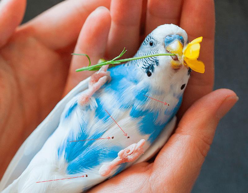 Пухопероеды у попугая - лечение