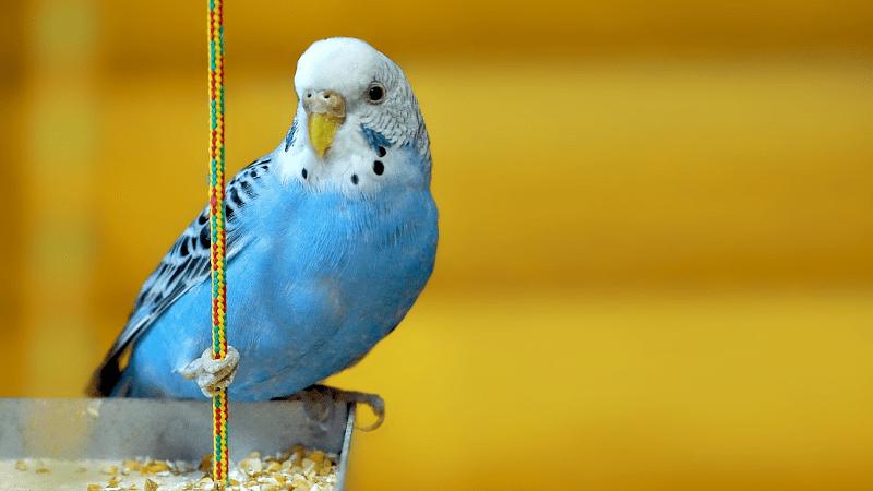 Все о волнистых попугаях - главное фото