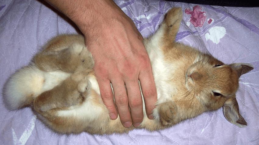 Вздутие живота у кроликов - причины