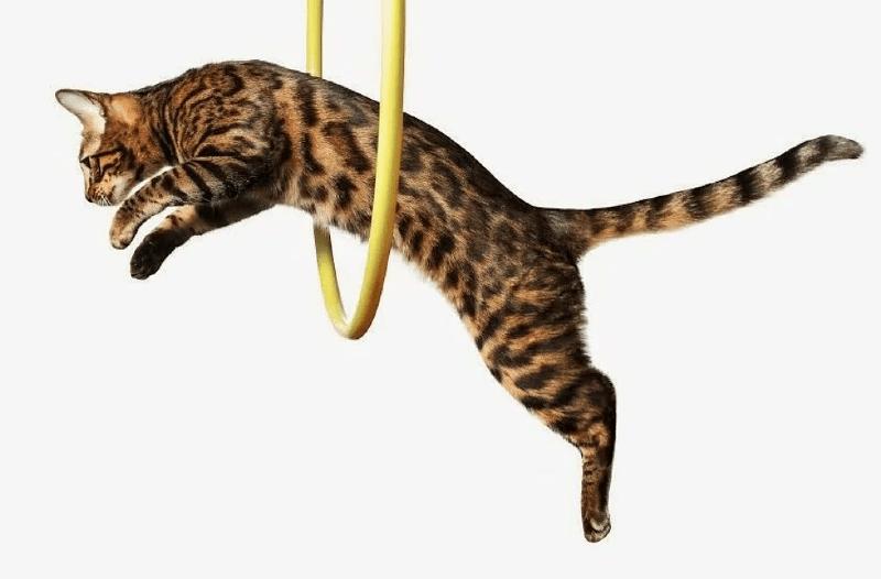 Прыжок кошки через обруч