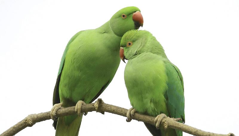 Как научить ожерелового попугая разговаривать
